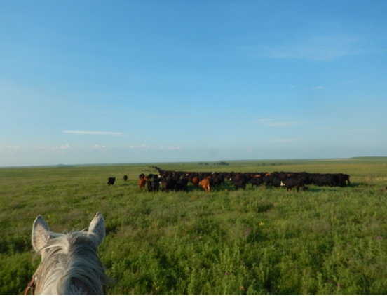 Gathering cattle (552x422)