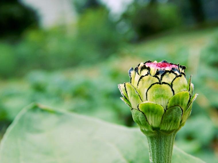 garden zinnia10 (2000x1500)